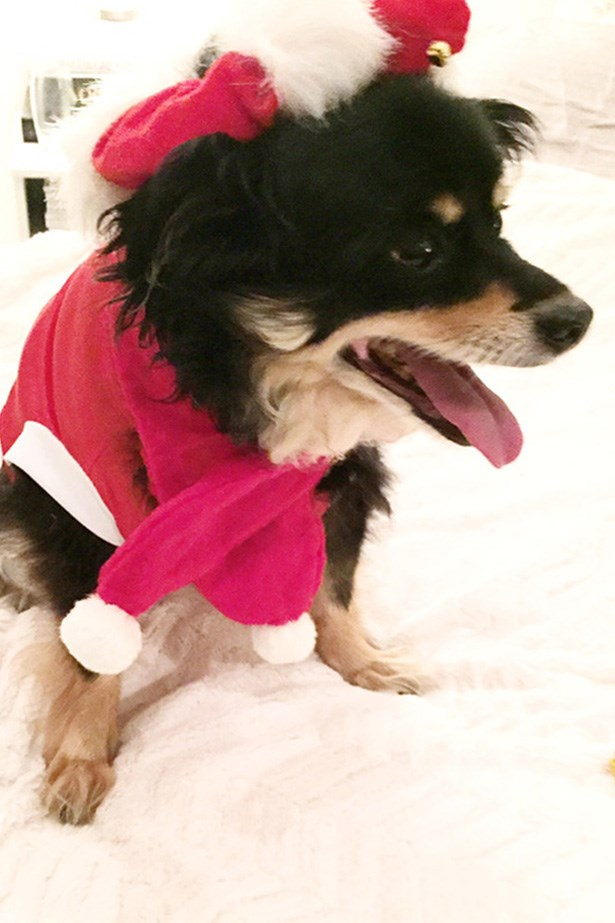 FOXY CLEOPATRA, niece of Claudia Jukic, fashion features contributor. Foxy's favourite thing about Christmas is dressing up in her scarf and beret. She particularly likes the way they jingle when she runs!