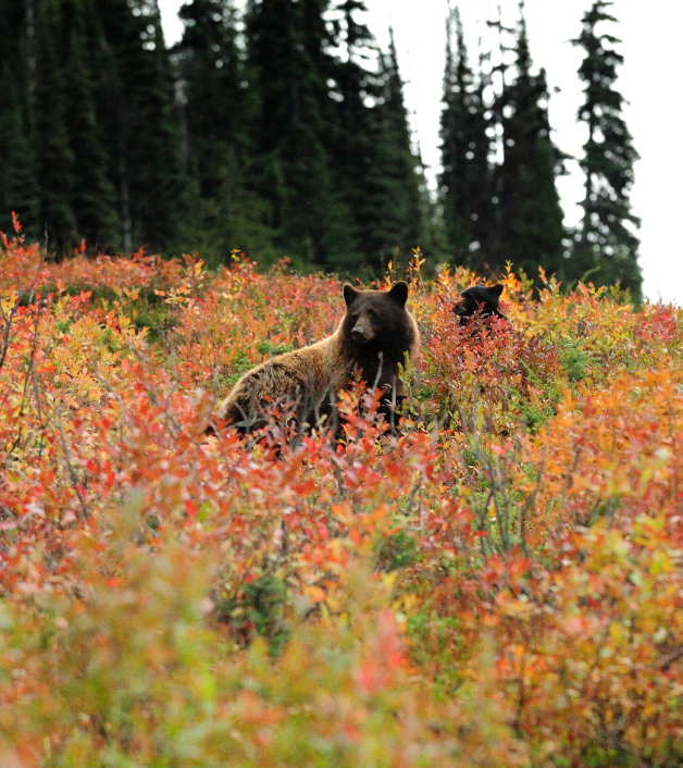 Brown bears in British Columbia