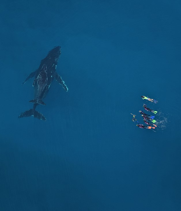 Snorkellers with a humpback whale and calf