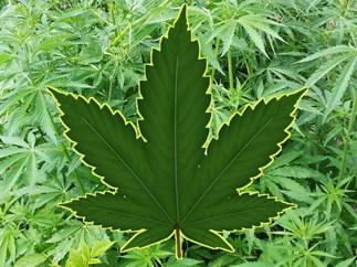 Federal Government approves medicinal marijuana sale