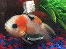 Man makes a wheelchair for his goldfish and we don't know what to make of it