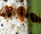 How to spot and get rid of bed bugs