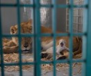 Lion rescued from war-torn Aleppo zoo gives birth to new cub