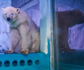 "The ""world's saddest polar bear"" could finally be getting the new home he deserves, temporarily"