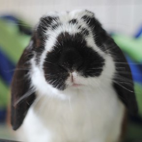 SPCA rabbit