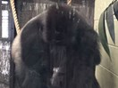 Gorilla escapes from London Zoo after breaking its enclosure