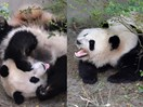 American-born panda twins living in China are homesick for American food