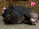 YAS KWEEN! This beautiful pregnant pig had a maternity photo shoot