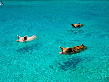 Asshole tourists reportedly to blame for the deaths of sweet swimming Bahamian pigs