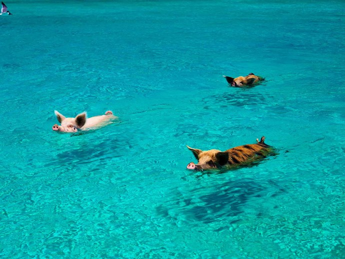 Swimming pigs.