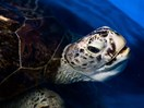 'Piggy Bank' the turtle has died after eating nearly 1,000 coins thrown into her pond