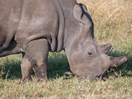 Have you seen this rhino on Tinder? Here's the explanation