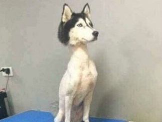 The Internet Is Absolutely Outraged by This Photo of a Shaved Husky