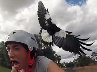 15 tweets you'll relate to if you've ever been swooped by a magpie