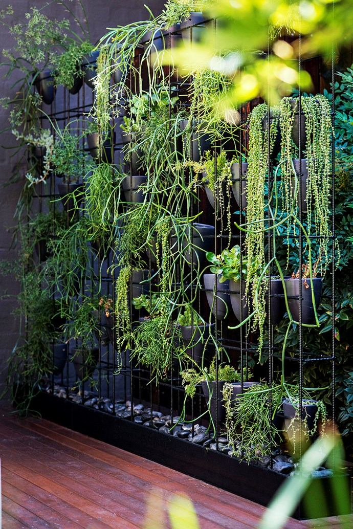 This green wall, located on the deck level of the courtyard, consists of a steel box frame with hand-thrown pots perched inside. Plants include varieties of mistletoe cactus (*Rhipsalis*) and string of pearls (*Senecio*).