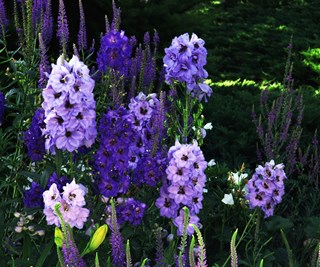 Plant some Delphiniums in February