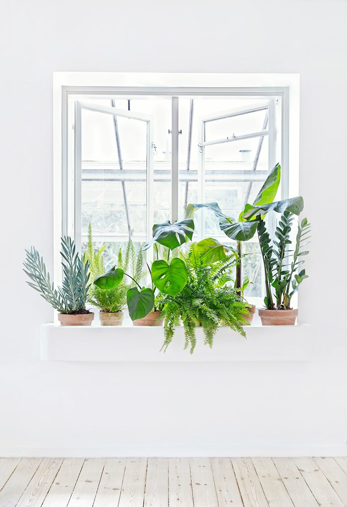 **FROM LEFT** chalk sticks (*Senecio*), foxtail fern (*Asparagus densiflorus meyeri*), fruit salad plant (*Monstera deliciosa*), Boston fern (*Nephrolepis exaltata*), banana palm (*Musa acuminate*), Zanzibar gem, (*Zamioculcas zamiifolia*).
