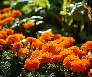 Marigolds add a burst of colour to gardens