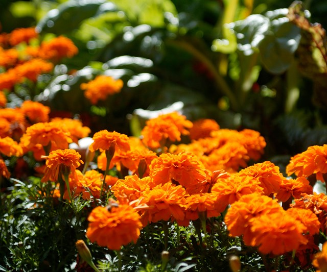 Marigolds add a burst of colour to gardens