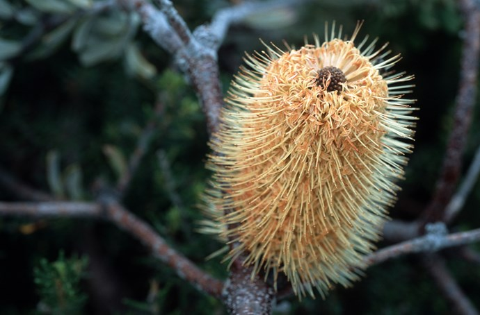 The Coastal banksia is a great textural plant option that will protect other plants from strong winds. Photo: Getty Images
