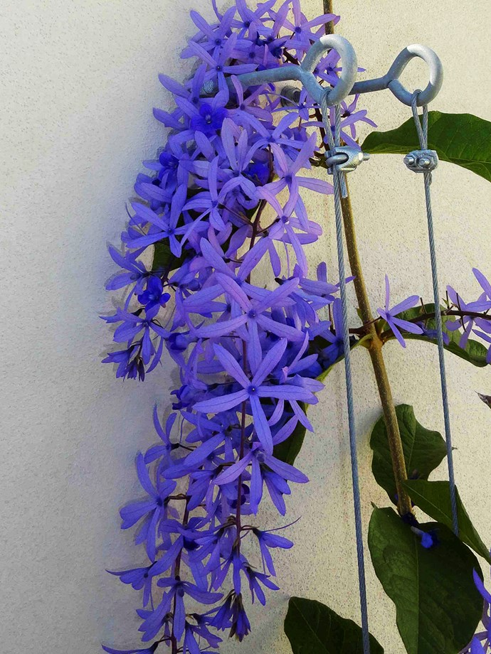 Petrea kohautiana (purple passion)