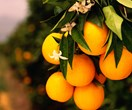 Juicy couture: What to consider when choosing a citrus tree