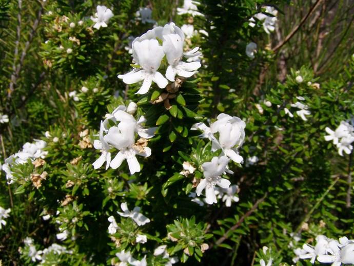 Westringia fruiticosa