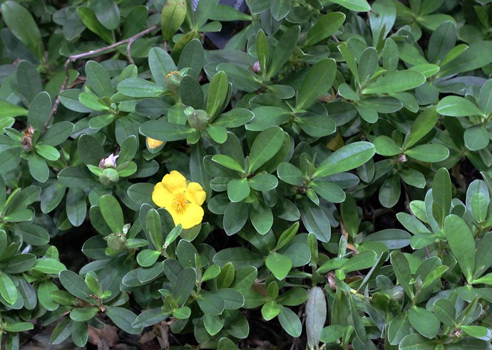Hibbertia scandens ('snake vine')
