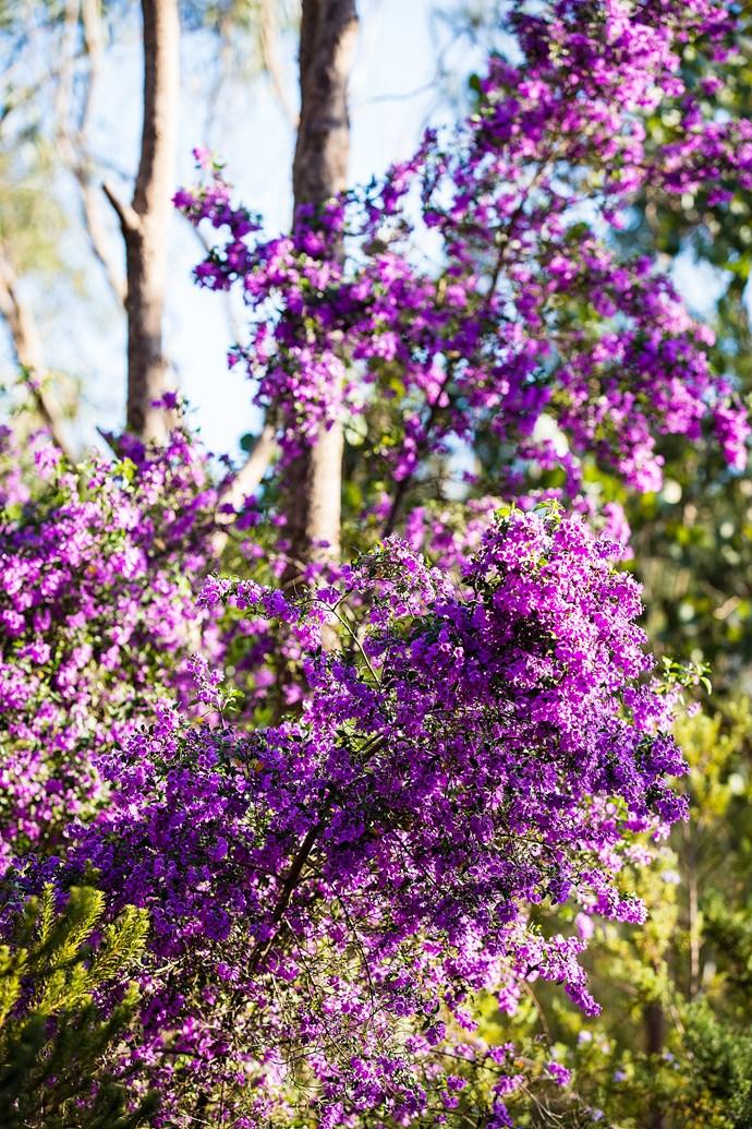 Purple-flowering oval-leaved mint bush (Prostanthera ovalifolia).