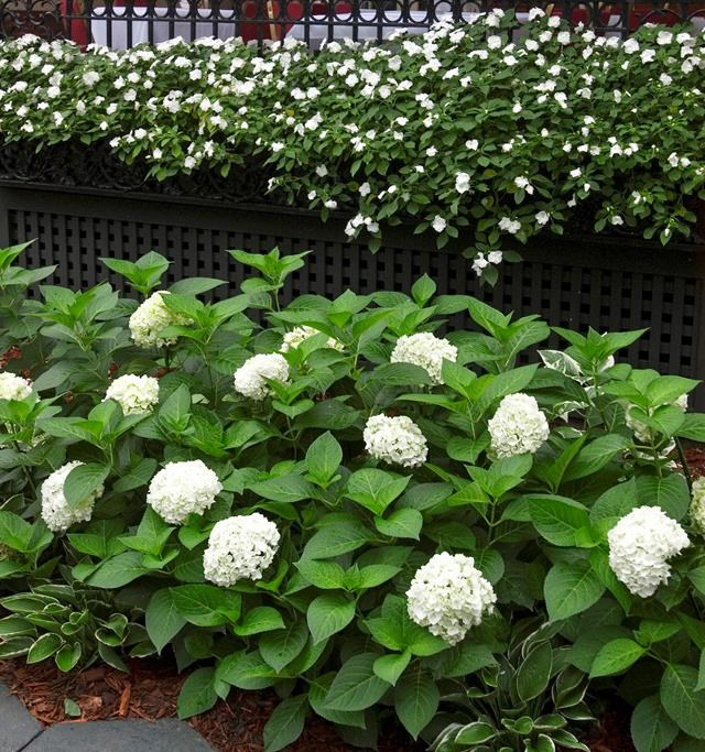 Although a pretty and popular shrub, Hydrangeas are no good for cats and dogs.