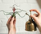 Air plants: how to grow and care for them