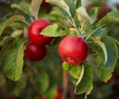 How to grow deciduous fruit trees