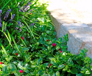 ground cover plant
