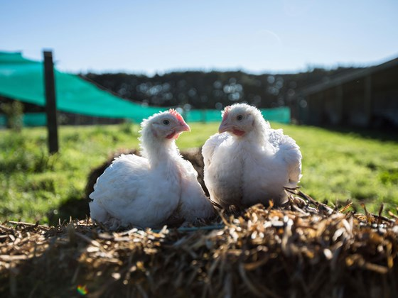 What it means to be a free range chicken in New Zealand