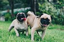 Love pugs? You'll want to book tickets to this