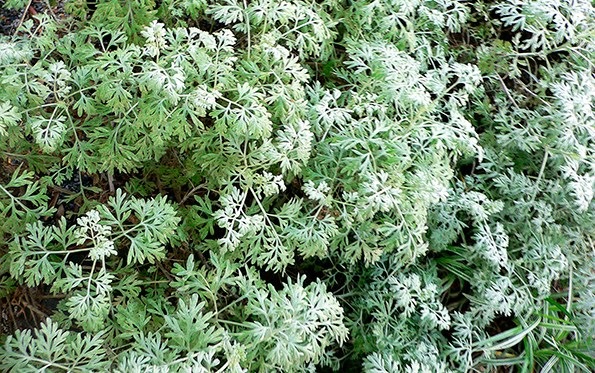 Artemisia: This soft, feathery, silver foliage looks fantastic with the strong,  sharp spikes of astelia, silver coloured flaxes or bold grasses.