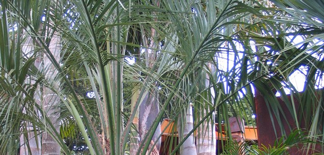 Planting palm trees in your garden