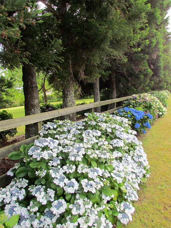 Because they're planted alongside a fence, with trees behind them, these hydrangeas don't leave too much of a gap when they die off.
