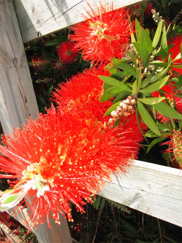 Bright, brash, cheerful and tolerant, the Aussie bottlebrushes are great dry-garden plants.