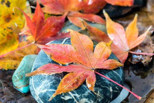 Acer palmatum Hogyoku