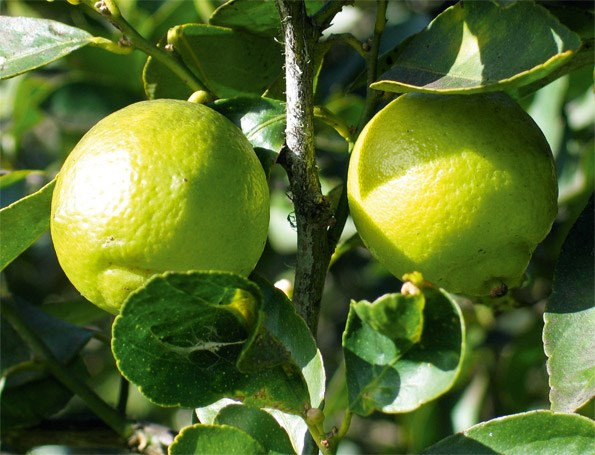Needing little more than sun, well-drained soil and feeding, the Tahitian lime provides great flowers and fruit