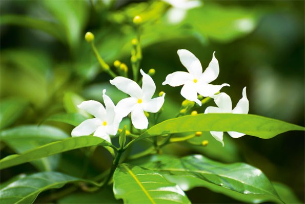 Star jasmine: Most gardeners know star jasmine – it's one of the handiest plants you can get. The glossy green leaves have touches of red in winter, followed by a myriad of little white flowers in summer.  It's fragrant, well-behaved  and dead easy to grow – and  you can keep it trimmed to ground cover if you like.