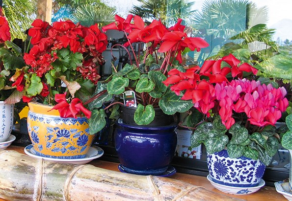 A gang of cyclamens and begonias enjoy each other's company in a warm kitchen setting.