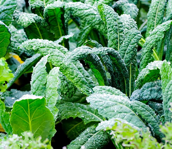 Cavolo nero, a staple in Italy, sounds so much sexier than cabbage and yes, we can grow it here.