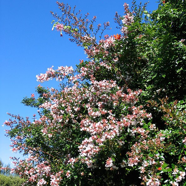 Abelia has a lovely, informal habit but can also be trimmed to keep it tidy.