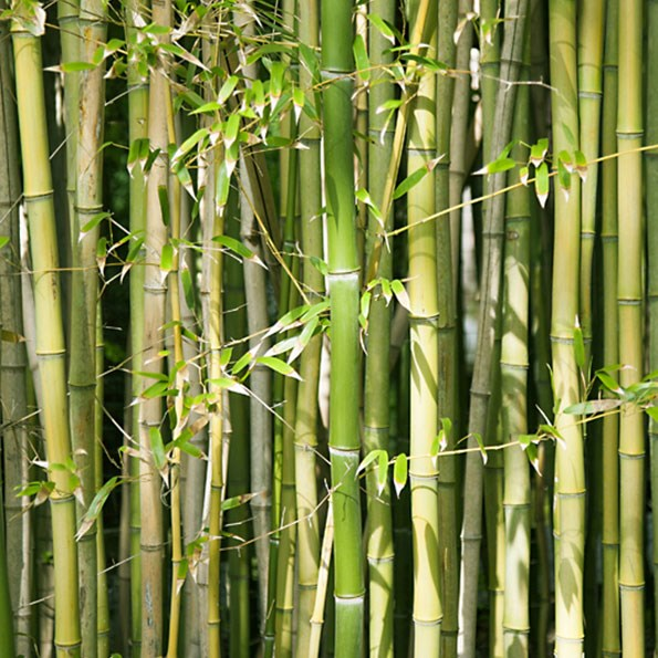 Bamboo grows quickly and it comes in a variety of species.