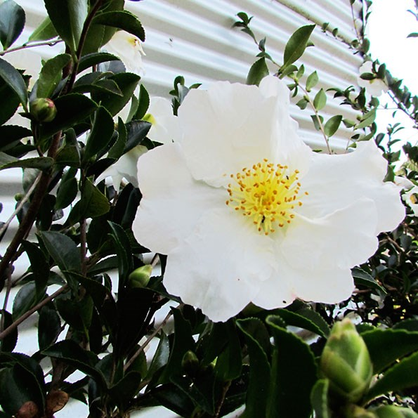 This camellia sasanqua is 2.5m tall and does a great job of screening off this tin shed.