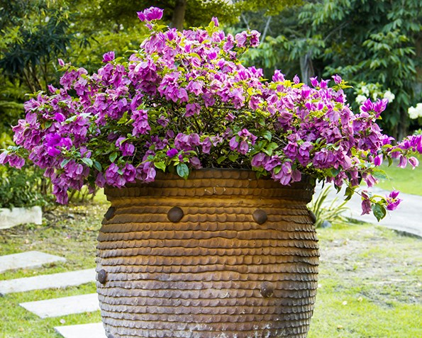 The good news is, bougainvillea will live perfectly happily in a container, and will be easier to control.
