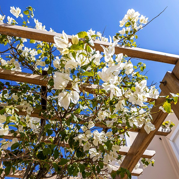 It still has killer thorns, but white bougainvillea has a gentler, more subtle look.