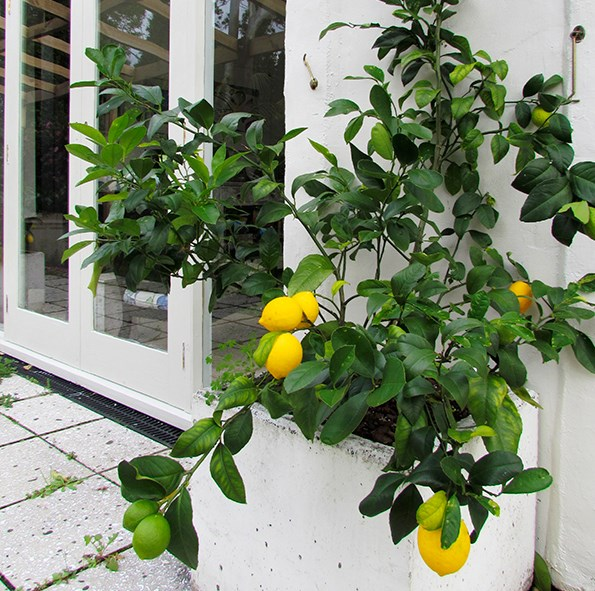 A lemon tree adds instant appeal to a public space with fragrance, flowers and brightly coloured fruit.